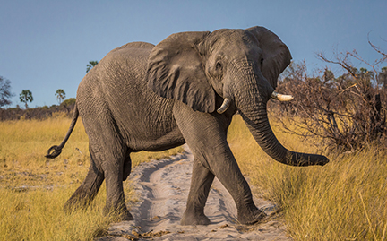 large-African-Elephant-photo